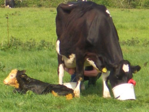 Me milking Commander after her surprise twins