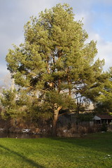 Scotch Pine in Audubon's Backyard