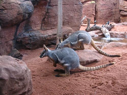 Wallaby, il cugino piccolo del canguro