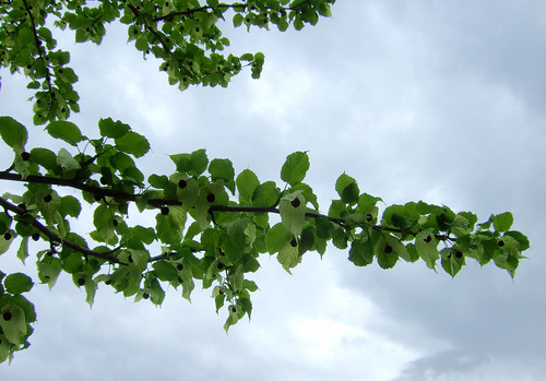 Duetre (Nyssaceae)
