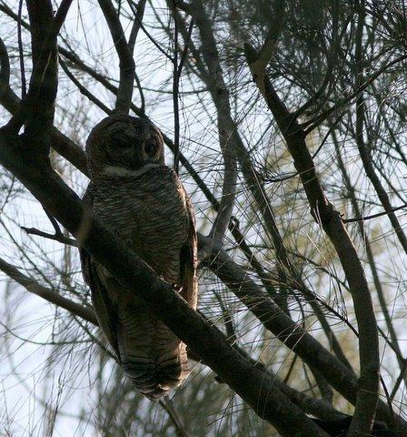 Mottled Wood Owl backlit 011207