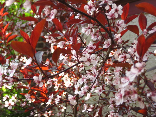Purple Leaf Sand Cherry in bloom (by RPOPtream)