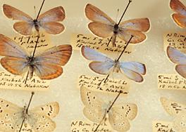 Nabokov butterflies