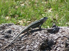 A lizard at Goose Island State Park