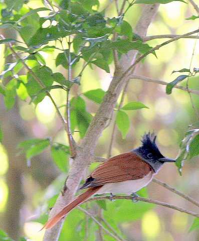 Asian Paradise Flycatcher female nandi hills 251107