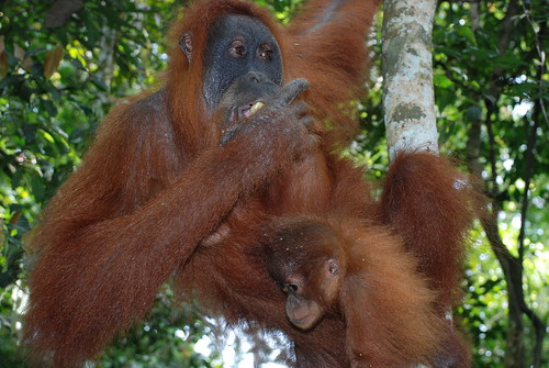 Orang Utan Mutter und Kind