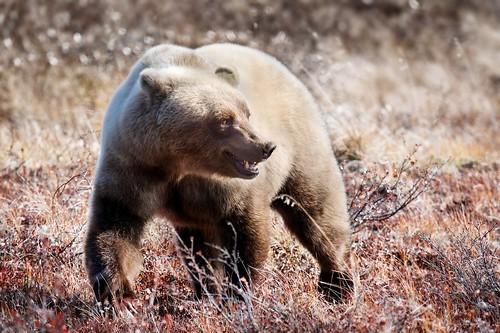Alaska Brown Bear Denali