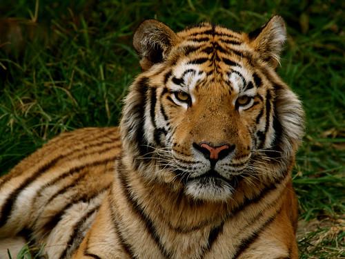 eyes of tiger.jpg