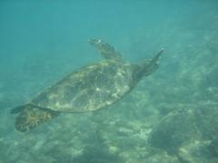 Sea turtle at Honaunau on Hawaii's Big Island