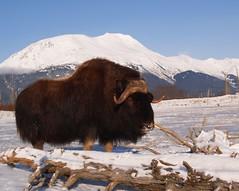 Musk Ox of Alaska