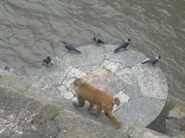 El mono y las palomas en el río Bagmati