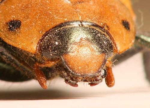 Grapevine Beetle head