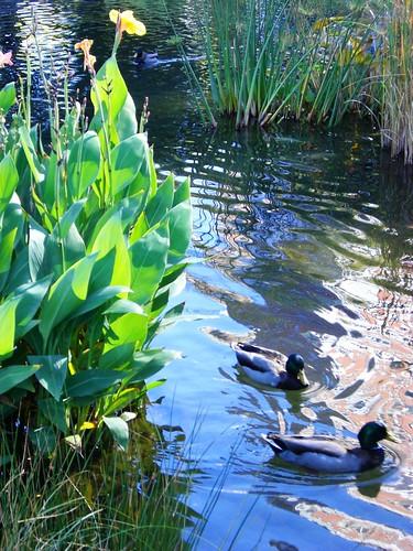 Battery Park Ducks