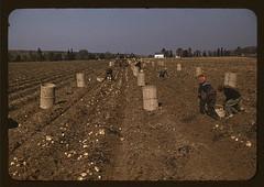 Children gathering potatoes on a large farm, v...