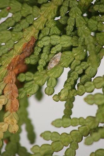 Argyresthia thuiella? cocoon