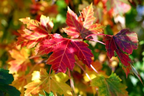 Autumn blazing (2)