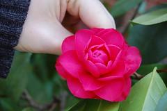 rosy camellia