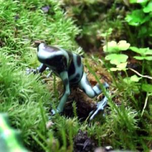 Dendrobates auratus Panimanian Green & Bronze