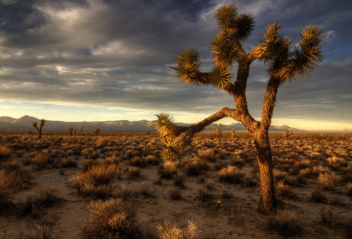 Joshua Tree at Sunset by .: sandman
