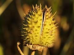 Fruit d'estramoni - Fruto de estramonio (Datur...