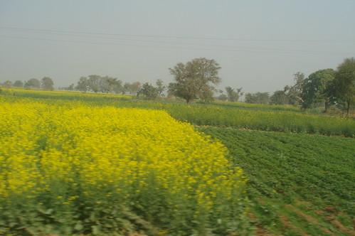 Agra 1-25油菜花田