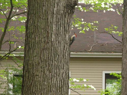 Fat woodpecker