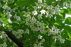 泉の森のエゴノキ(Flower, Izuminomori park, Yamato, Kanagawa, Japan)