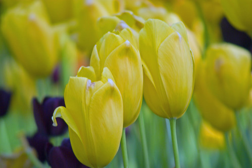 yellow tulips, istanbul tulip festival, istanbul, pentax k10d