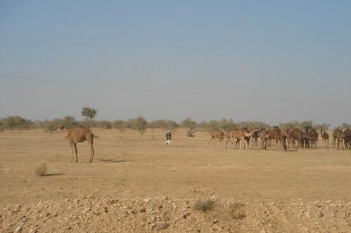 前往Jaisalmer路上1-53路上駱駝群