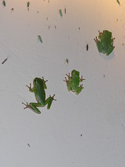 Frogs on Wall