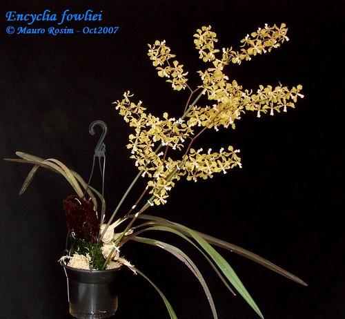 Encyclia fowliei  Cattleya Source