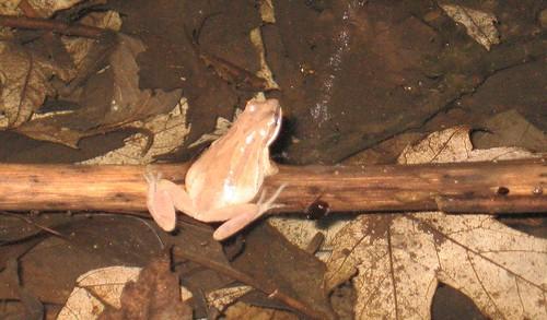 Western Chorus Frog - March 31 2008
