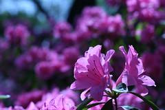 Pink Joy