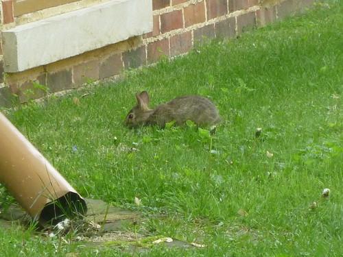 IL - Springfield 79 Lincoln Home bunny