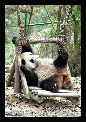Panda Base in Chengdu  China..my adoption