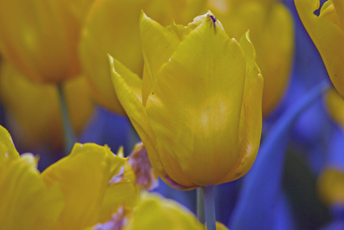 yellow tulips from Istanbul Tulip Festival (pentax K10D)