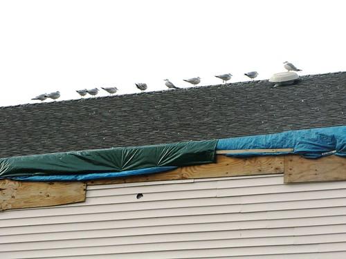 Seagulls, Tornado-Batterd Church Roof