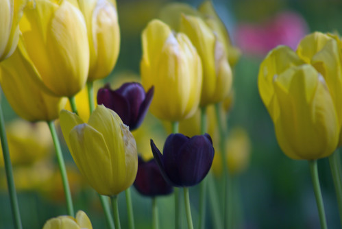 yellow tulips and black tulips, istanbul tulip festival, istanbul , pentax k10d