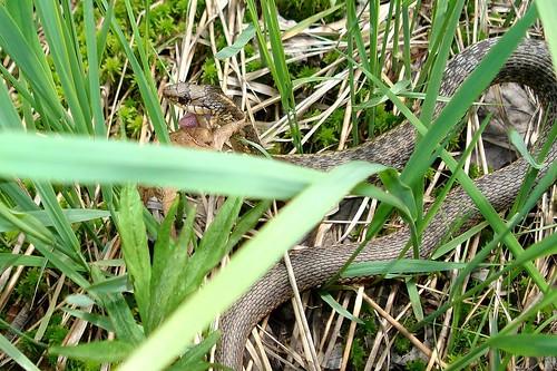 Common Garter Snake.jpg