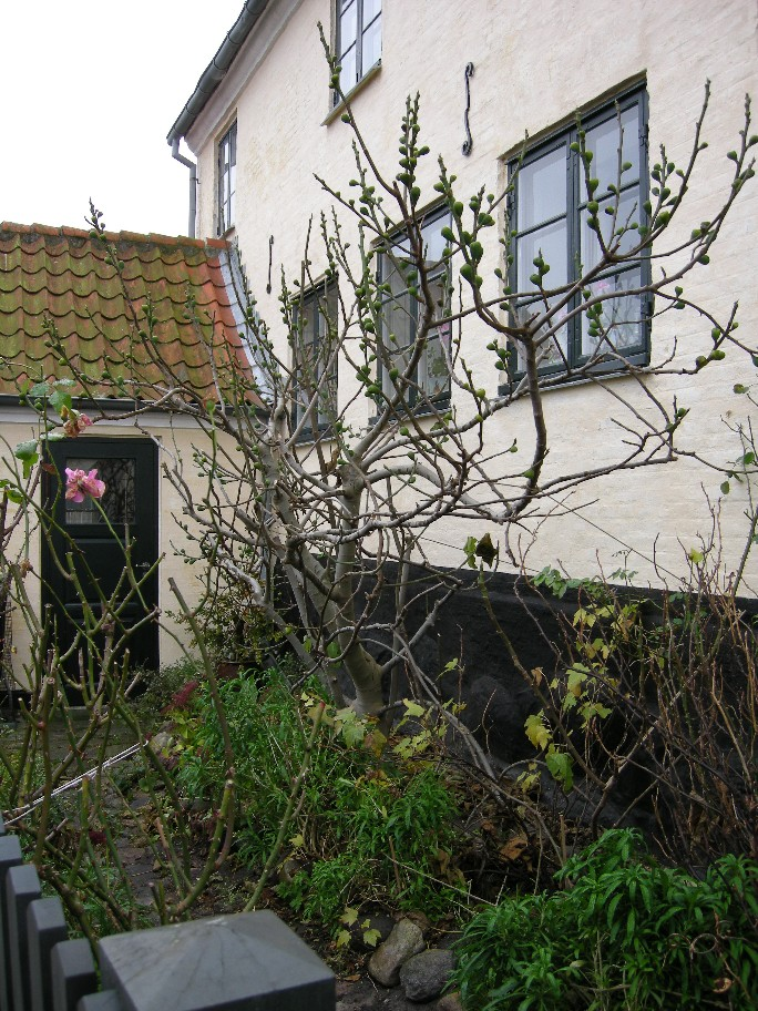 Fig tree in Dragør