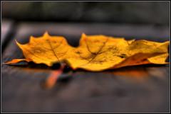 Folha de ouro...Golden leaf... por max tuta noronha