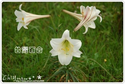 DSC_9461台灣百合