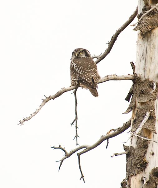 Northern Hawk Owl at Harts Pass
