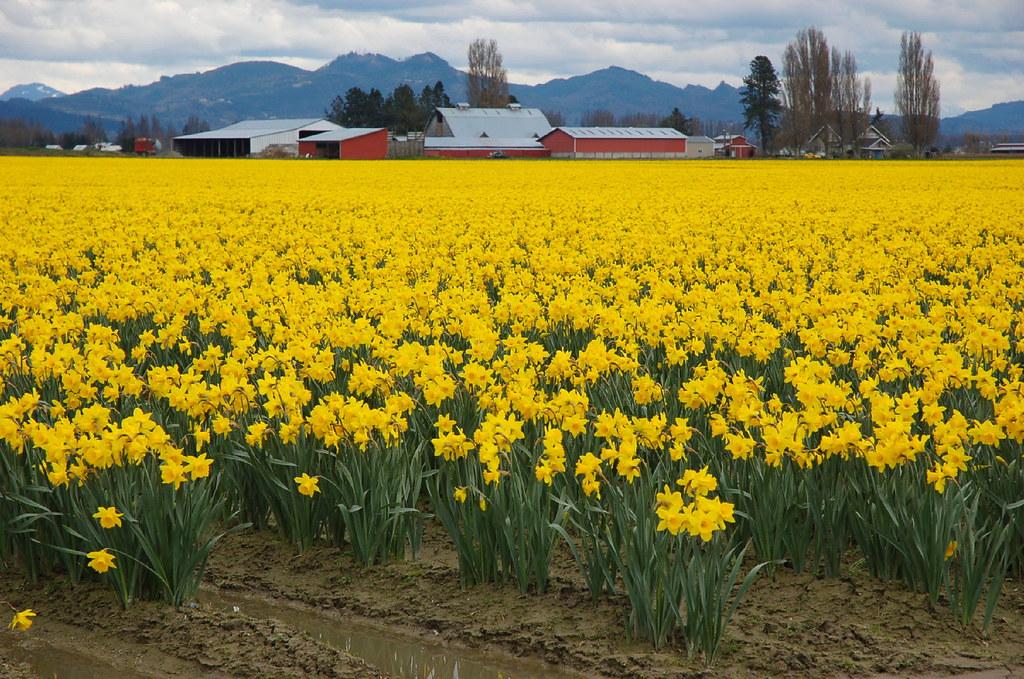 Daffodil Field in Skagit Valley