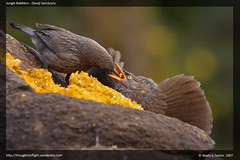 Jungle Babblers Feeding