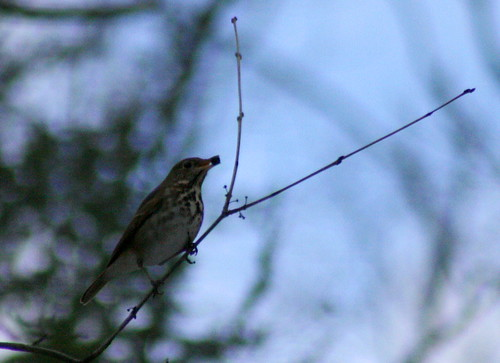 Hermit Thrush with Black Cherry berry