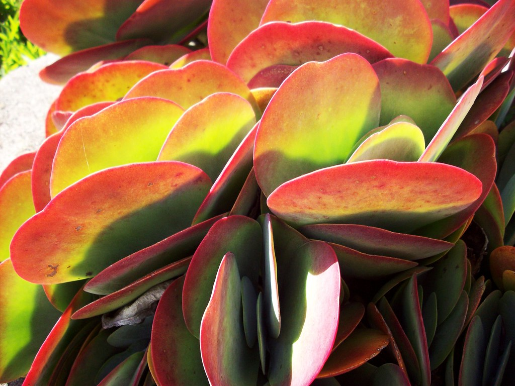 I LikE Plants Kalanchoe Thyrsiflora