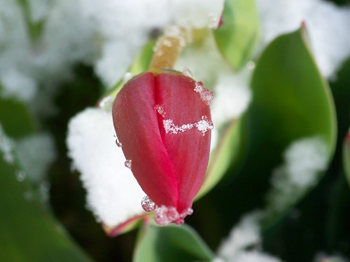 Tulip bud in snow