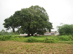 Lord Krishna stood as Peepul Tree (Arasa Maram) for 1000 years