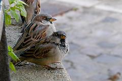 House_sparrow1